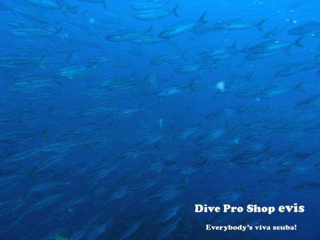 ブリ】〜日本を旅する出世魚©zukankun | アジ科 | evis生物図鑑 ...